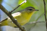 philly vireo plum island