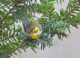 townsend's warbler marblehead sanctuary