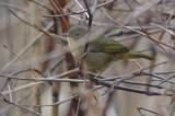 common yellow throat salisbury SP