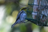 townsend warbler marblehead sanctuary