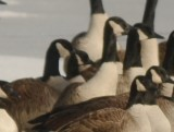 center left cackling goose I believe the front ones are lesser canada