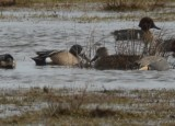 Blue-winged teal wolf hollow fields
