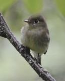 least flycatcher petite manan