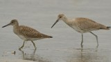 western and eastern willet