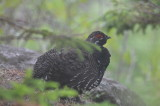 spruce grouse petite manan