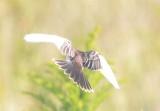 leucistic kingbird PI