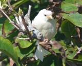 luecistic house sparrow lynn