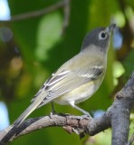very light blue-headed vireo
