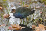 Purple Gallinule Chauncy Lake Westborough, MA