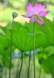 Lotus_Gallery