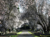 Avenue of Blackthorn Blossom