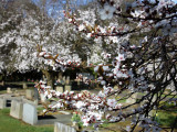West Cemetery Blossom