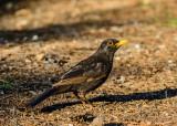 Blackbird - Turdus merula