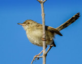 (indeed) Graceful Prinia