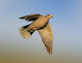 The Collared Dove