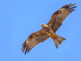 Another black kite