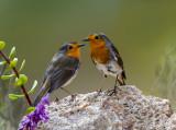 Double robin
