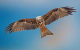 Black Kite with prey