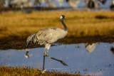 Grey Crane