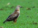 Long legged buzzard