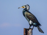 Great Black Cormorant
