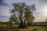 Olive trees is Galilee
