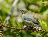 Sunbird (female)