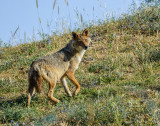 A female jackal