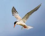 A tern waits its turn