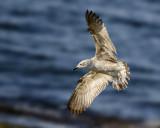 Yellow legged gull (young)