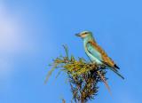 Another blue bird