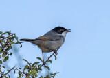 Black-head warbler