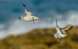 The plover flight