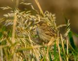 Home Sparrow