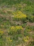 Ragweed at Black hills