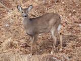 Curious deer in the backyard