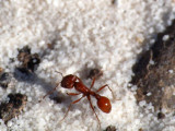 The ant at White Sands
