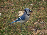 The bluejay in the backyard