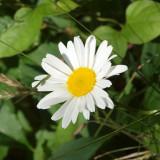 A daisy in the wild