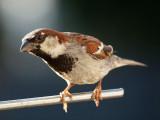 The splendid sparrow