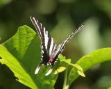 White Tiger swallowtail