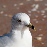 Face to face with a ring-billed gull