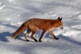 The fox in the backyard