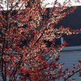 Evening light on the spring foliage of the plum tree
