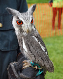 Highland Games - A South African Scops Owl, I believe