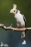 Prionopidae