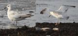 Birding ID Forum
