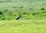 Svart Stork Vid sjön Östen 2013
