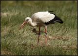 Vit stork vid Paradissjön 2015