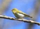 Wood Warbler  Grönsångare  (Phylloscopus sibilatrix)